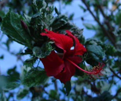 Hibiscus du jardin