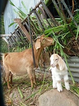 Maman cabri et son petit