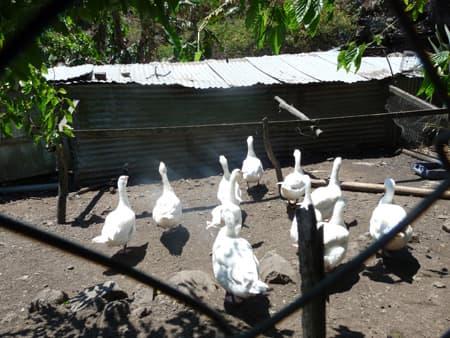 Geese in the barnyard