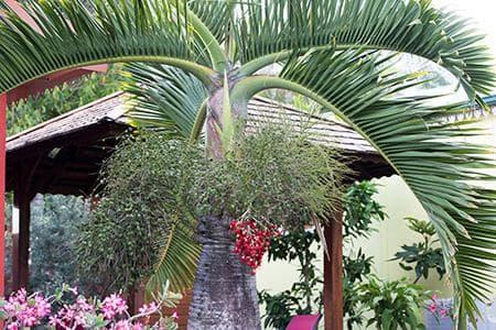 Palmier bonbonne