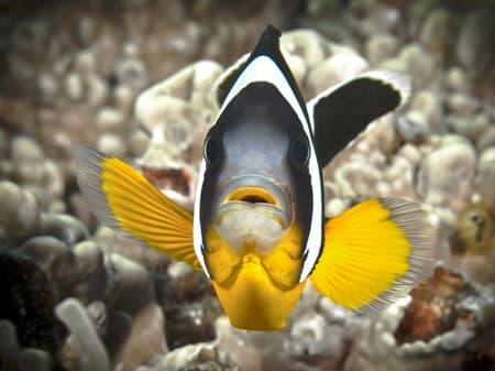 Reunion's clown fish