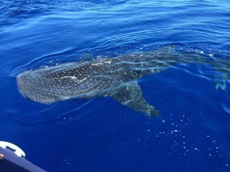 Plus rare, le requin baleine
