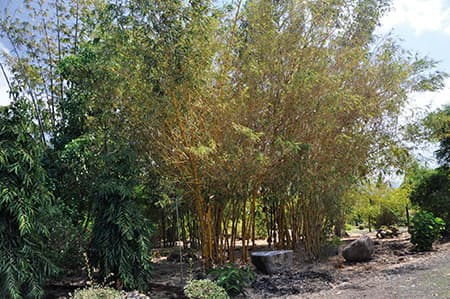 The bamboo plantation